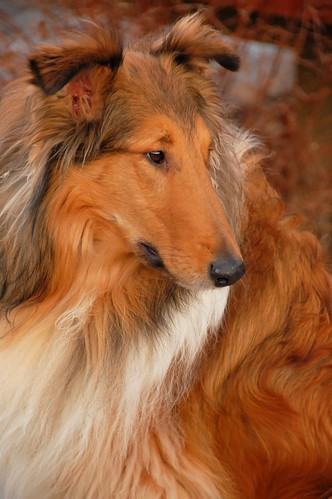 Rough Collie named Jack