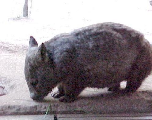 Wombat Mania
