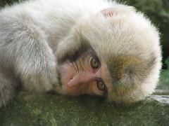 100 - Snow Monkey - 20080618