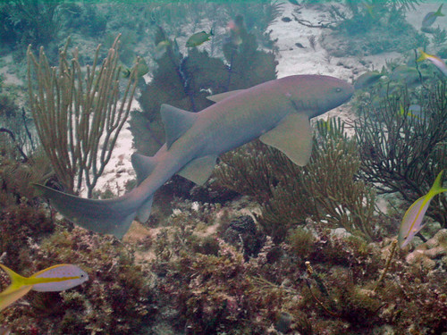 Nurse Shark at Patch A Reef