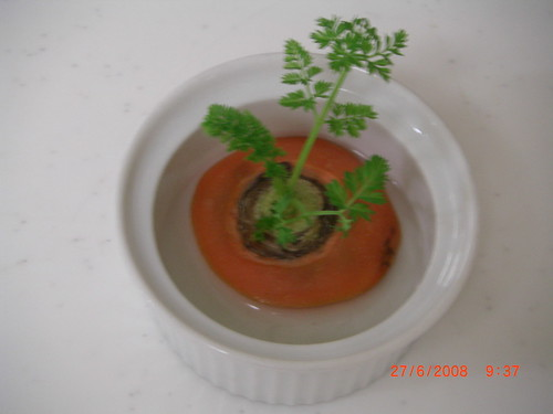 Grow carrot leaves in your kitchen!