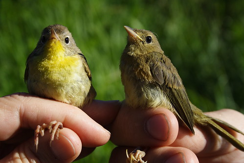 Common Yellowthroat Mommy and Baby