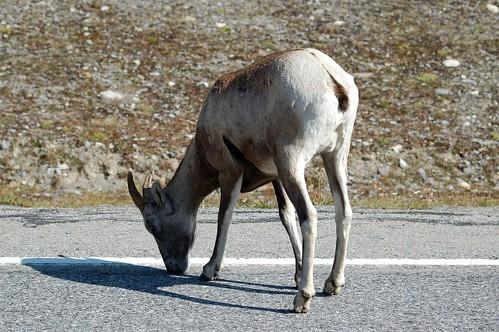 Rocky Mountain Sheep licking the street