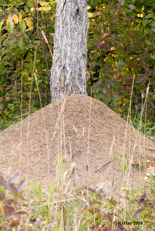 Ant Hill - Indian Springs Park, Michigan