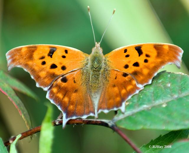 Question Mark Butterfly - Rondeau Provincial Park