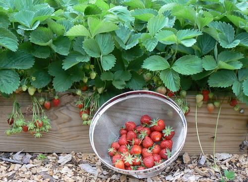 stawberry crop.JPG
