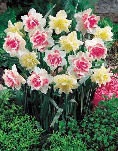 Double Daffodil Duo by you.