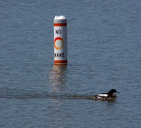 No Wake Duckies