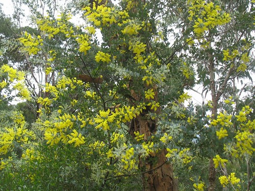 Mimosa (Acacia, Wattle)