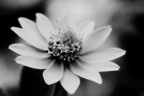 The Tiny Yellow Flower - Moody black and white