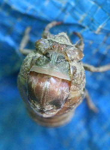 cicada14
