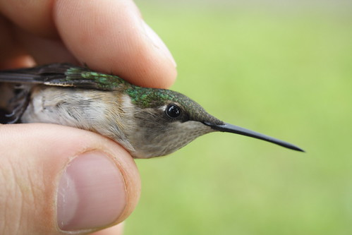 Ruby-throated Hummingbird - Female