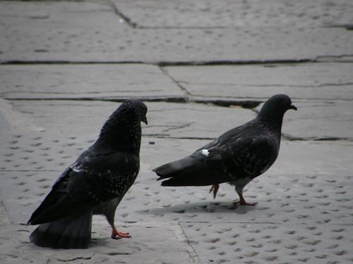 Firenze, piccioni in piazza della SS. Annunziata