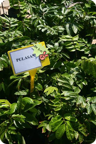pulasan plant