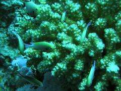 Damisela de Arabia / Red Sea Dascyllus (Dascyllus marginatus)