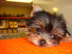 Yorkie puppy
