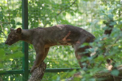 Fossa in der Réserve Zoologique de Calviac
