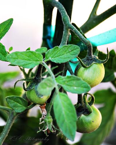 Tomatoes 06-07-08