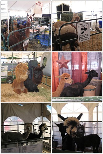 Alpacas at 2008 Estes Park Wool Market