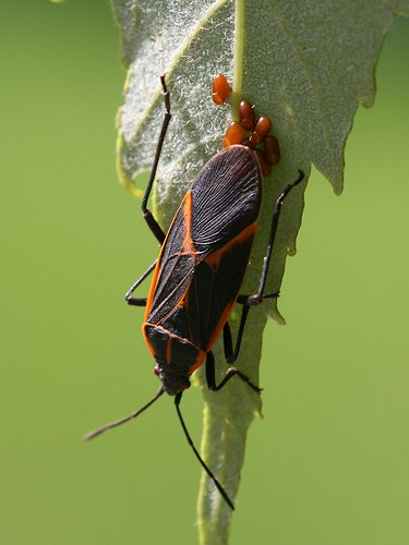 Box Elder Bug laying eggs