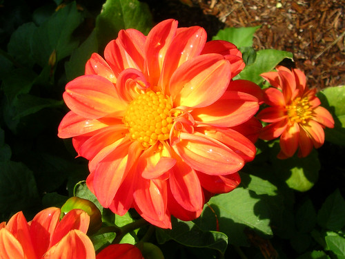 Bright-Dahlias