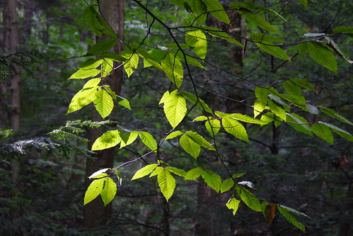 Beech Leaves in the Sun