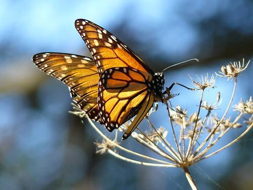 Лаптир монарх (аутор docentjoyce)