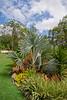 Catherine's garden in Bardon: Bismarck Palm (Bismarckia nobilis) by Craig Jewell