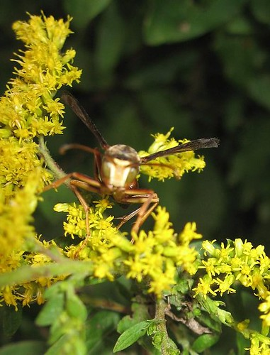 Wasp on Goldenrod - Sept 16 2008
