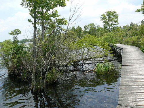 Camden Causeway Park - Fallen Bald Cypress Still Grows
