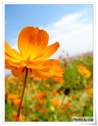 黃色波斯菊。