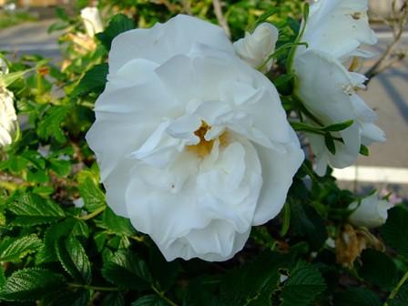 ハマナス~白花