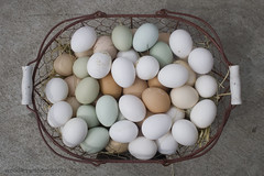 eggs of many colors