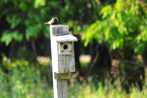House Wren with a stick