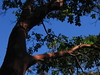 Deception Pass Tree