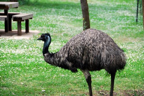 Uno de los emúes que andaban por allí sueltos