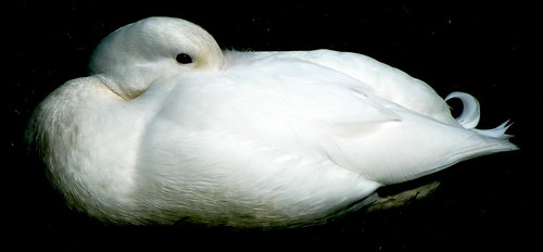 White Puddleduck