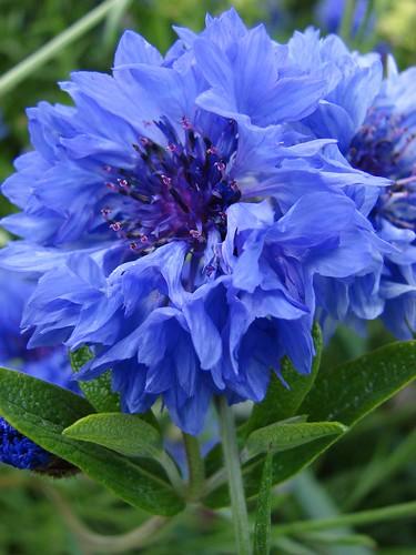 Asteraceae Cynareae Centaurae Cyanus