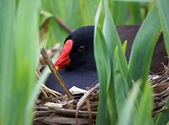 Moor hen Nesting
