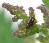 Nettle bug