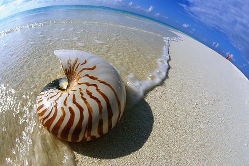 Nautilus Seashell Resting on Shore