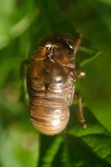 Cicada Shed Exoskeleton