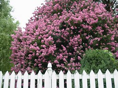 Janie's crepe myrtle tree across the alley