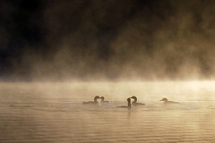 circle of loons by Steve took it
