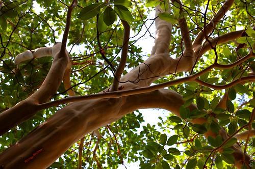 Лысое гладкое дерево