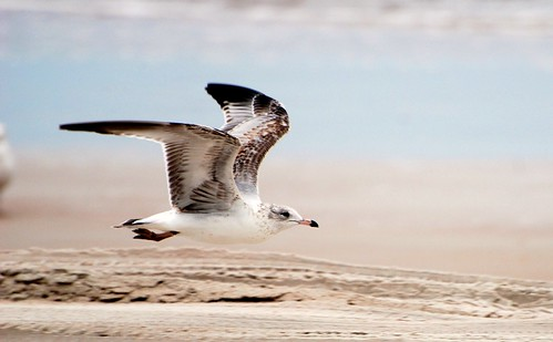 Flying Herring Gull - Seagull at the Beach by blmiers2