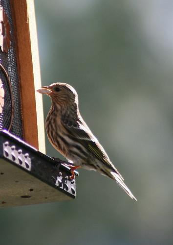 Pine Siskin on feeder