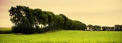 Treeline and Bean Field