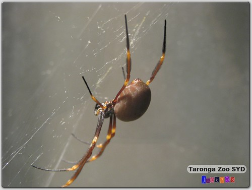 Taronga Zoo - Redback Spider