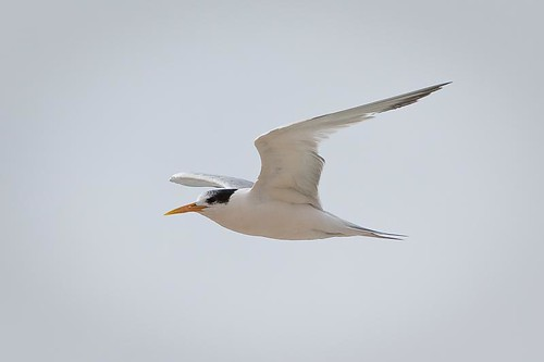 Elegant Tern by you.